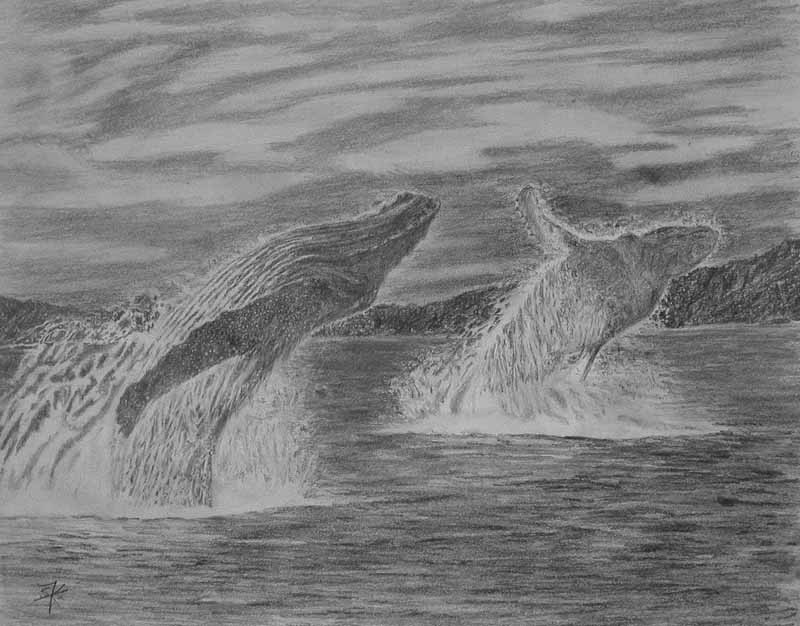 Broaching humpback whales